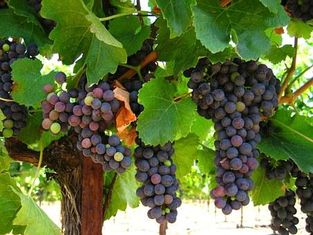 VITIVINICOLO – Dichiarazioni obbligatorie di vendemmia e di produzione di vino e/o mosto della campagna vitivinicola 2019/2020