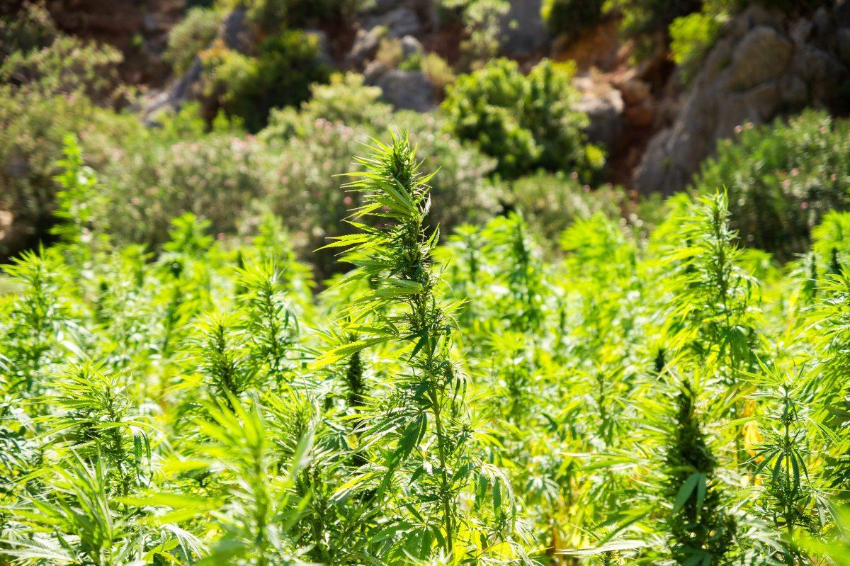 CANNABIS SATIVA L. | Lo status di pianta officinale