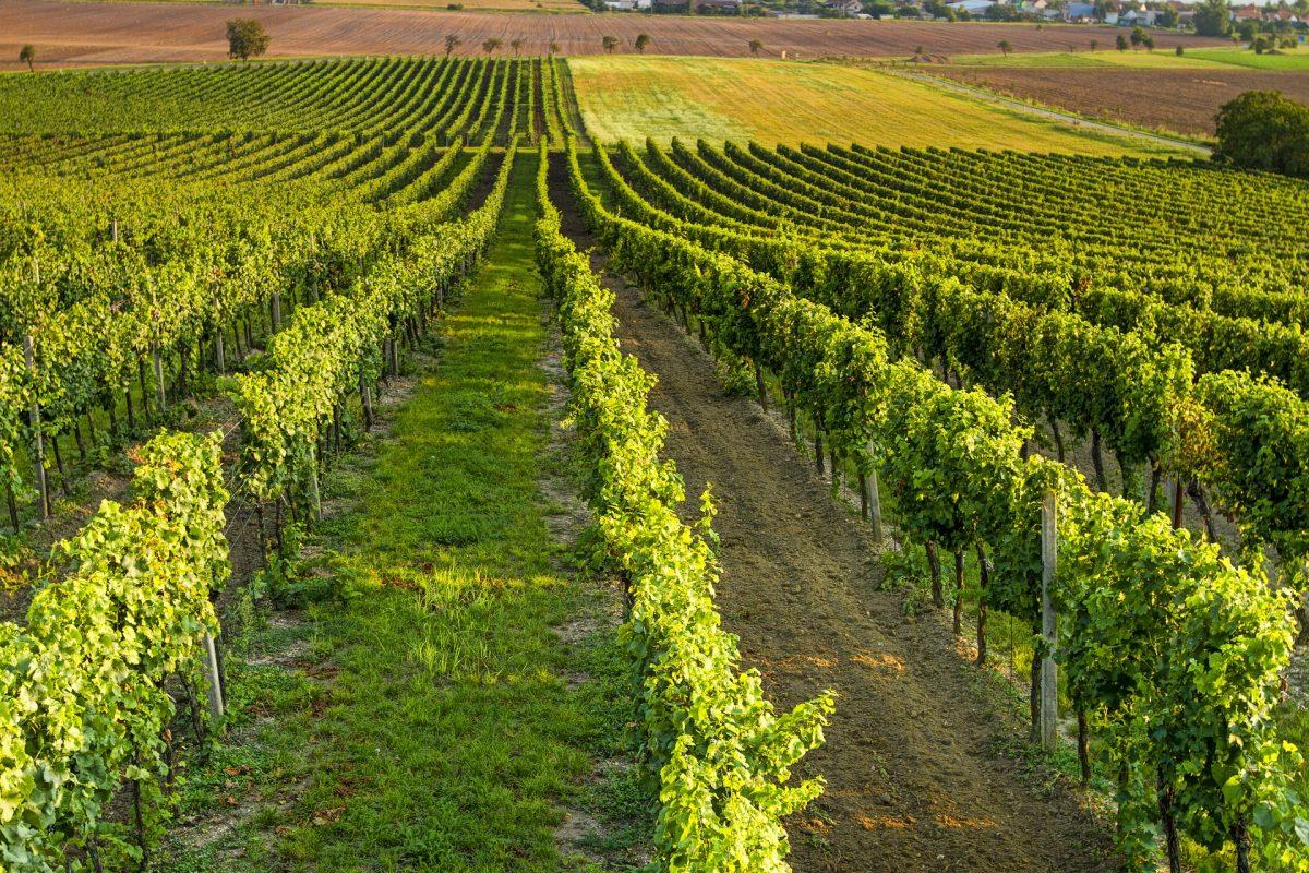 VITICOLTURA: sistema di autorizzazioni per NUOVI impianti viticoli Circolare AGEA.11517.2020 del 13 febbraio 2020