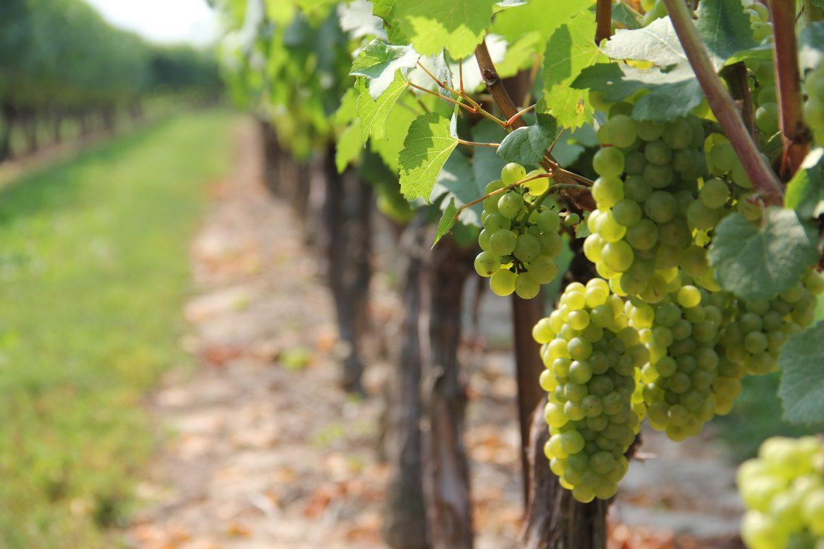 VITICOLTURA: autorizzazioni per nuovi impianti viticoli – annualita' 2021